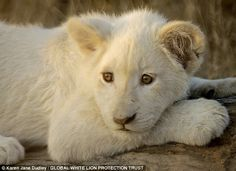Wild at heart: Princess Nebu, a white lion cub born in the wild residing at Global White Lion Protection Trust in South Africa founded by former model Linda Tucker