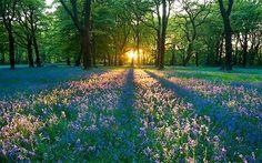 Bluebells in the British countrysidehttp://www.telegraph.co.uk/sponsored/travel/hidden-britain/9158522/wild-flower-guide-bluebells.html#