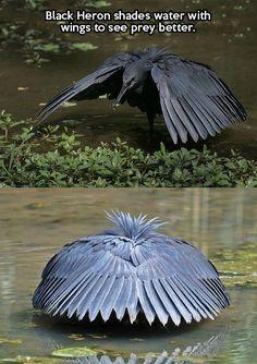 Black Heron <3