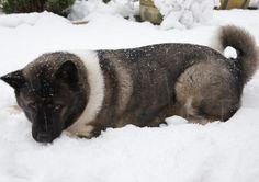 akita in snow | File:Akita in the snow.jpg - Wikimedia Commons