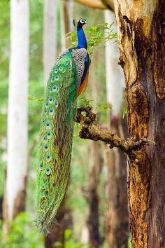 Proud India-blue Peacock [Pavo cristatus]