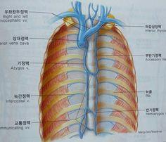 흉부의 정맥들