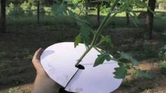 7 Steps to Upside Down Tomatoes, via YouTube.