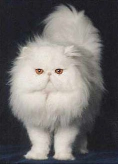 White Persian with gold eyes