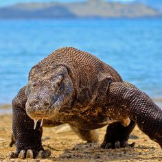Komodo dragon (varanus komodoensis) is the largest living species of lizard. Where is its natural habitat? Indonesian Islands! While a few Komodo Dragons live in zoos, the lizard's native habitat is the Indonesian islands of Komodo, Flores, Padar and some of the Lesser Sunda islands.