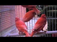 Jual anis merah online dating