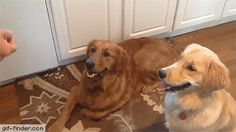 Adorably Derpy Golden Retriever | Gif Finder – Find and Share funny animated gifs