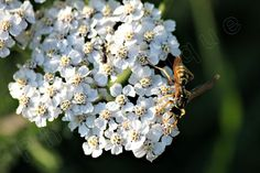 Wasp with White Yarrow Wildflowers / Intimate by PhotoClique