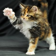 5 trucos y comandos fáciles e impresionantes que puedes enseñarle a tu gato a hacer - Katzen - Gatos Cute Cats And Kittens, Baby Cats, Kittens Cutest, Pretty Cats, Beautiful Cats, Animals Beautiful, Pretty Kitty, Cute Baby Animals, Animals And Pets