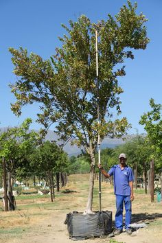 Just Trees is a wholesale tree nursery and we supply specimen container grown trees to the trade throught South Africa. Growing Tree, Fast Growing, Shade Trees, Deciduous Trees, Autumnal, Frost, Southern, Africa, Colours