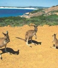 #Australia - Outback Esperance - Tre canguri alla Baia Fortunata