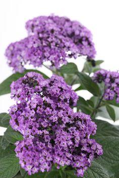 Heliotropium arborescens - Vanilleblume