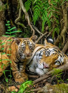 Tiger: Mom With Her Young Cub.
