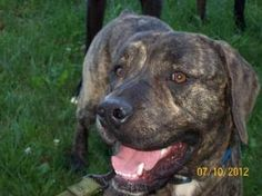 Hank is an adoptable Cane Corso Mastiff Dog in Yakima, WA. Hank is a 8-10 month old Cane Corso. He is as sweet as a gem and loves attention. He is a sweet brindle boy and adores people and other dogs....