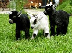 Baby goats<3