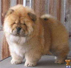 """I might get a dog someday and I want a chow chow - even if they are """"mean tempered""""!  So fluffy!"""