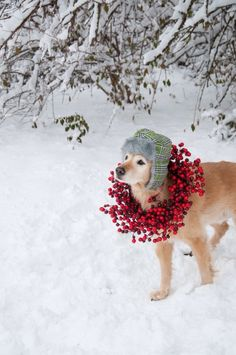 Tis the Season. Golden Retriever in ear flap hat and berry wreath in the snow.