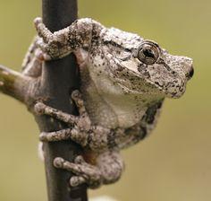 gray tree frog   Endless Wildlife