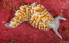 Flameback sea slug