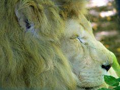 Zoo de Beauval - Lion 12