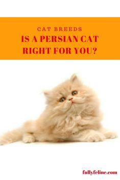Is a Persian Cat the right cat for you? #cats #catbreeds #persiancat
