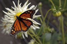 Monarch butterflies are found throughout the vegetables gardens at Esalen Institute in Big Sur, Calif., on Wednesday September 12, 2012.  The Institute is celebrating it's 50th anniversary this year. Photo: Michael Macor, The Chronicle / SF