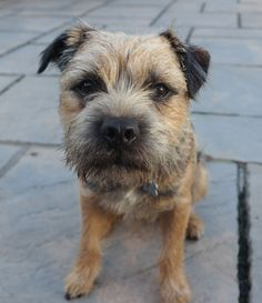 Chester the Border Terrier. - First 500px Shot. Chester the Border Terrier.