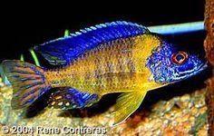 Aulonocara stuartgranti (Hai Reef)