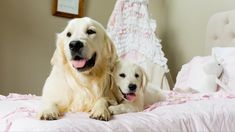 About English Golden Retriever Breeders Southern California My