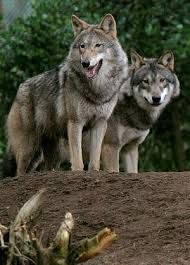 Stop Killing wolves ! All About Wolves, Spiritual Animal, Dances With Wolves, Beautiful Wolves, Lone Wolf, Wild And Free, Mans Best Friend, Werewolf, Husky