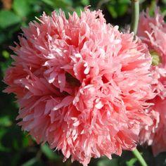 PAPAVER SOMNIFERUM DOUBLE FRINGED PINK SEEDS (Opium Poppy)