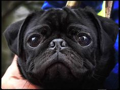 How cute is this #blackpug?!