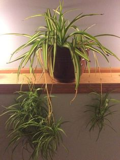 how to take cuttings of a spider plant