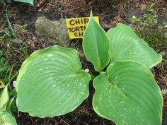 Hosta 'Tortilla Chip'......foto amateur Barbara Zadros