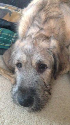Fred the 13 week irish wolfhound puppy