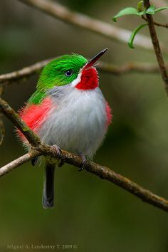 The Narrow-billed Tody (Todus angustirostris) is a species of bird in the Todidae family. It is found in the Dominican Republic and Haiti