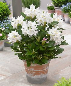 Kaukasisk rododendron 'Cunningham's White'