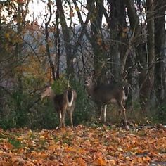 West Virginia fall 2014. Whitetail does taken from my car. Parking lot at work. I love my job.