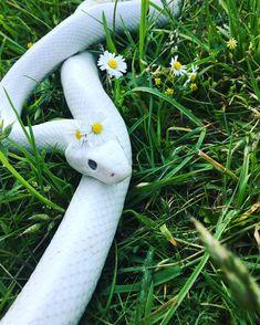 My Leucistic Texas Rat Snake Les Reptiles, Cute Reptiles, Reptiles And Amphibians, Pretty Snakes, Beautiful Snakes, Animals Beautiful, Rat Snake, Snake Art, Corn Snake