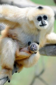Amazing mother with her Baby Gibbon