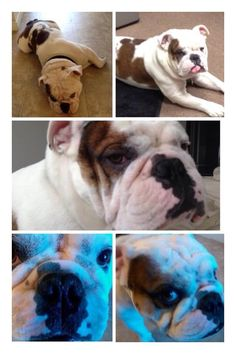 "LOST #LongBeach CA USA (4th/Daisy Street) Male white & brown English #Bulldog ""Rocco"" Call 562-824-2739. Lost 09-25-2014. Please share!  To see this pet's location on the Helping Lost Pets Map: http://www.helpinglostpets.com/v2/?pid=274056  More Info: http://www.helpinglostpets.com/petdetail/?id=274056"
