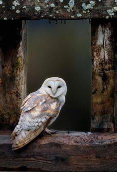 Barn Owl, in Old Farm Building Window, Cairngorms Scotland   by: Pete Cairns