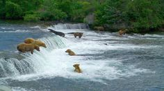 awesome bears in river in alaska wallpaper Check more at http://www.finewallpapers.eu/pin/2039/