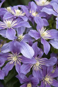 Arabella Clematis (Clematis x 'Arabella')