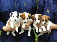 Parson Russell Terrior Pups