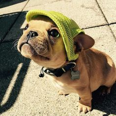 Cappy frenchie