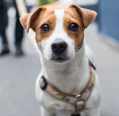 Wonderful Screen dogs and puppies jack russell Strategies Complete you care about the dog? Not surprisingly, you actually do. Suitable canine attention along with teac Jack Terrier, Parson Russell Terrier, Rat Terriers, Terrier Dogs, White Terrier, Terrier Mix, Pet Dogs, Dog Cat, Doggies