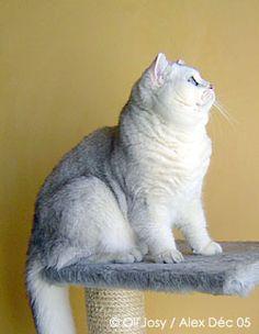 Alex des Ch'ti Cats British Shorthair Chinchilla