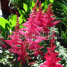 image de Astilbe arendsii Younique Carmin Astilbe, Younique, Planting Flowers, Photos, Outdoor, Inspiration, Gardens, Landscape Fabric, Garden Landscaping