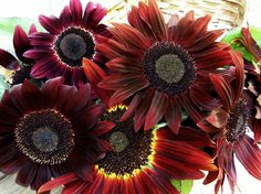 """""""Cinnamon Sun""""-exclusive to Renee's Garden this is a gorgeous pollen-free, branching variety with 5 to 6 inch flower faces with glowing cinnamon-bronze petals and chocolate centers. #easyfromseed #sunflowers #reneesgarden #savethebees"""